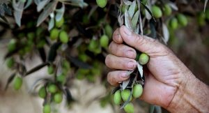 A Palestinian farmer from Nazlat Zeid village harvests an olive tree close to the Jewish settlement of Shaked in the Israeli occupied West Bank near the city Jenin, on September 25, 2010. All the Palestinian families in the West Bank need to get the permission from the Israeli army to enter the Jewish settlement area to harvest their olive trees as the world sponsors of the Middle East peace process urged Israel to extend a construction halt in West Bank Jewish settlements to support recently renewed peace talks. AFP PHOTO/SAIF DAHLAH (Photo credit should read SAIF DAHLAH/AFP/Getty Images)